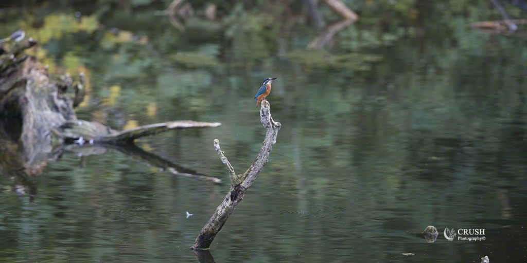 Common Kingfisher by CRUSH Photograpy©