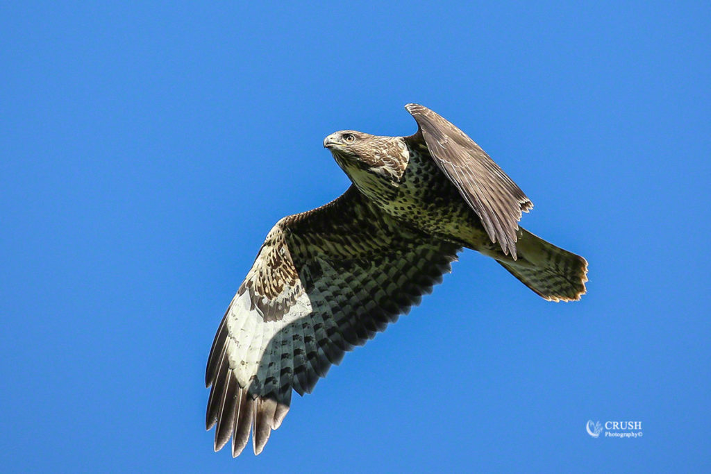 Common Buzzard by CRUSH Photograpy©