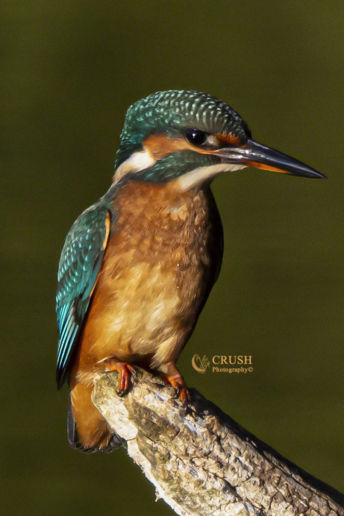 'Female Kingfisher' by CRUSH Photography©
